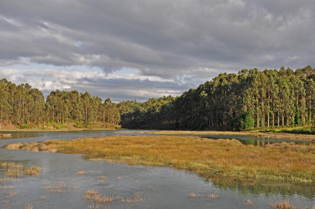 Lugo, Foz. Río Centiño. Marsh grasses and eucalyptus trees DSC_0064 P